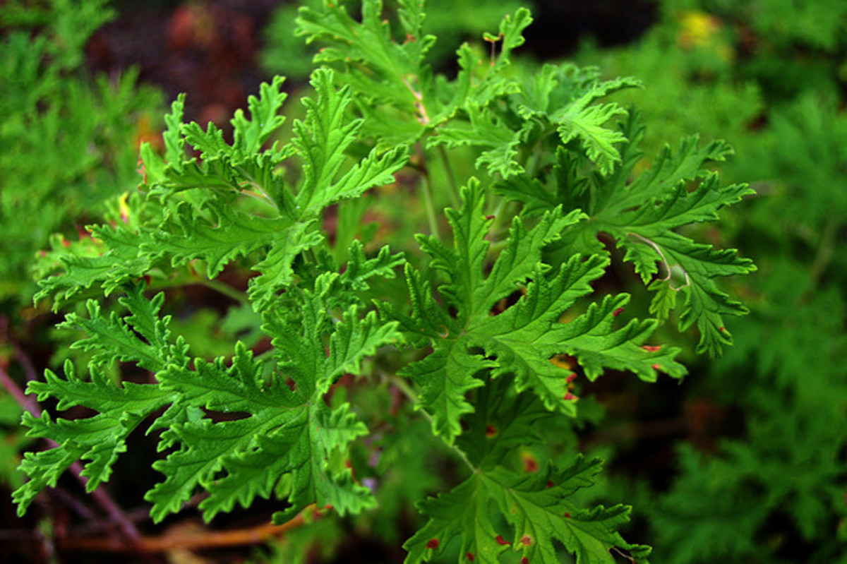 Rose Geranium (Pelargonium roseum Willd.)