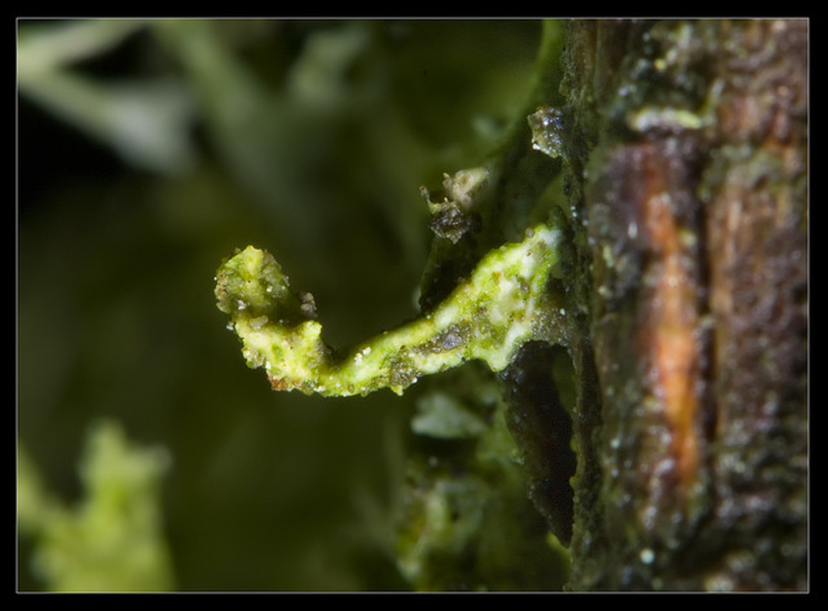"This lichen is .2"" (5mm) long. There are so many different textures and colors in this tiny space."
