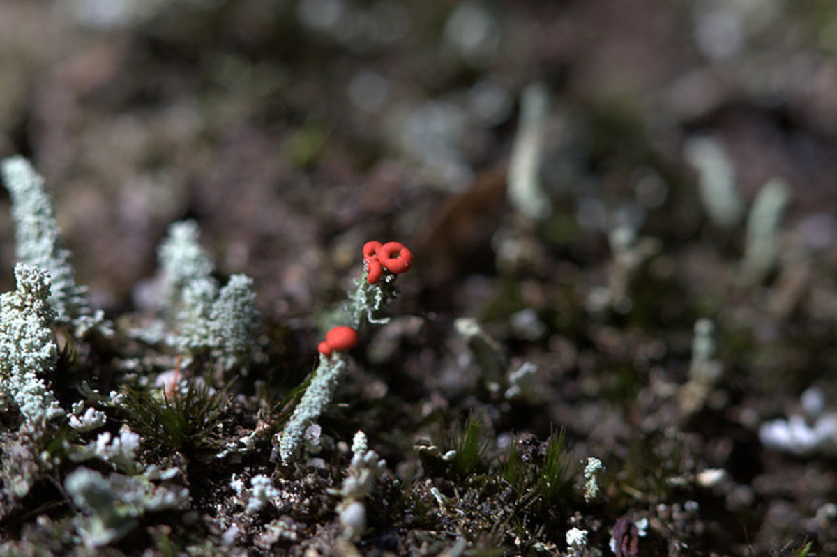 The small red fungi is Fruticose Lichen.