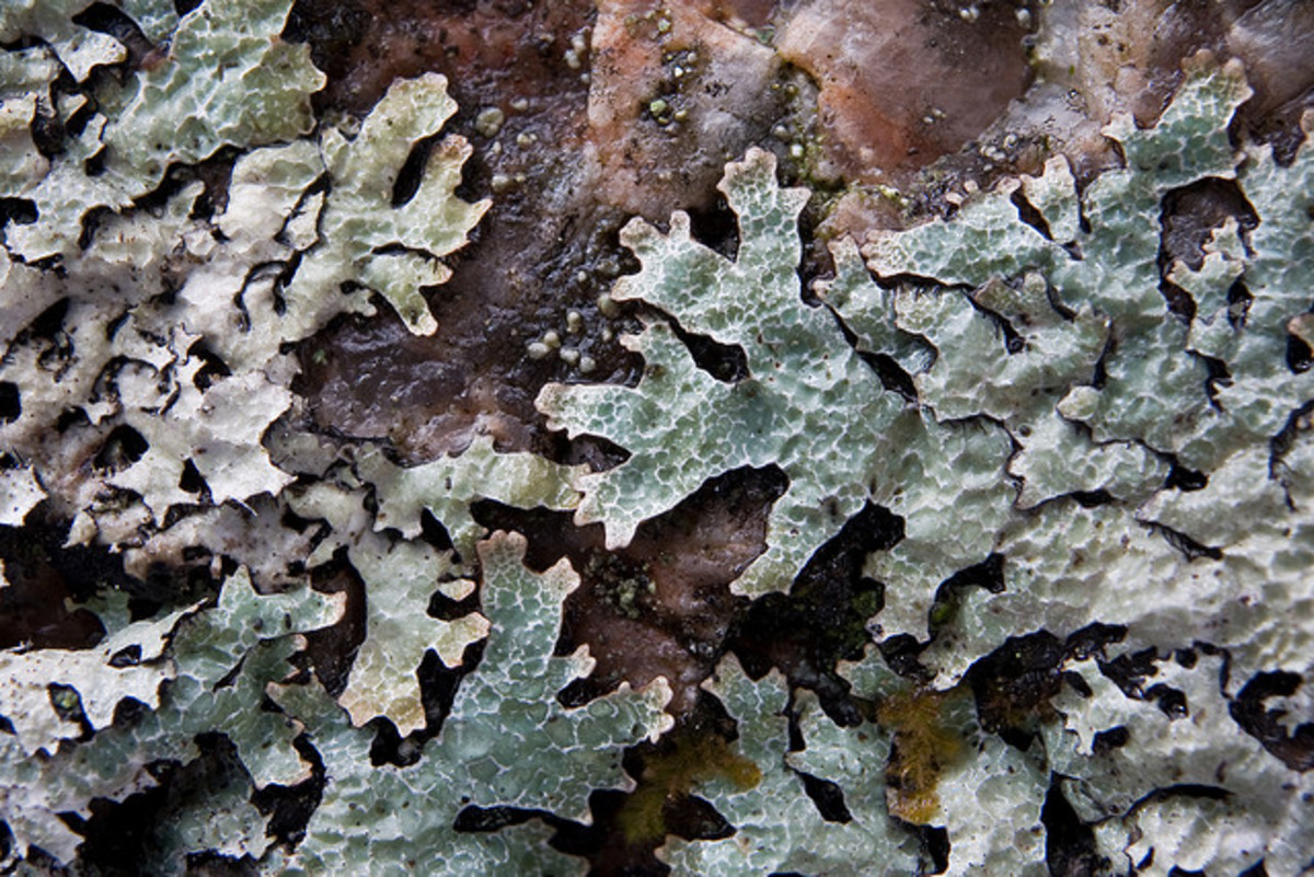 The beauty of this lichen goes beyond its delicate appearance, frilly shape and muted variations in color. Its beauty is further enhanced by its unusual veined texture.