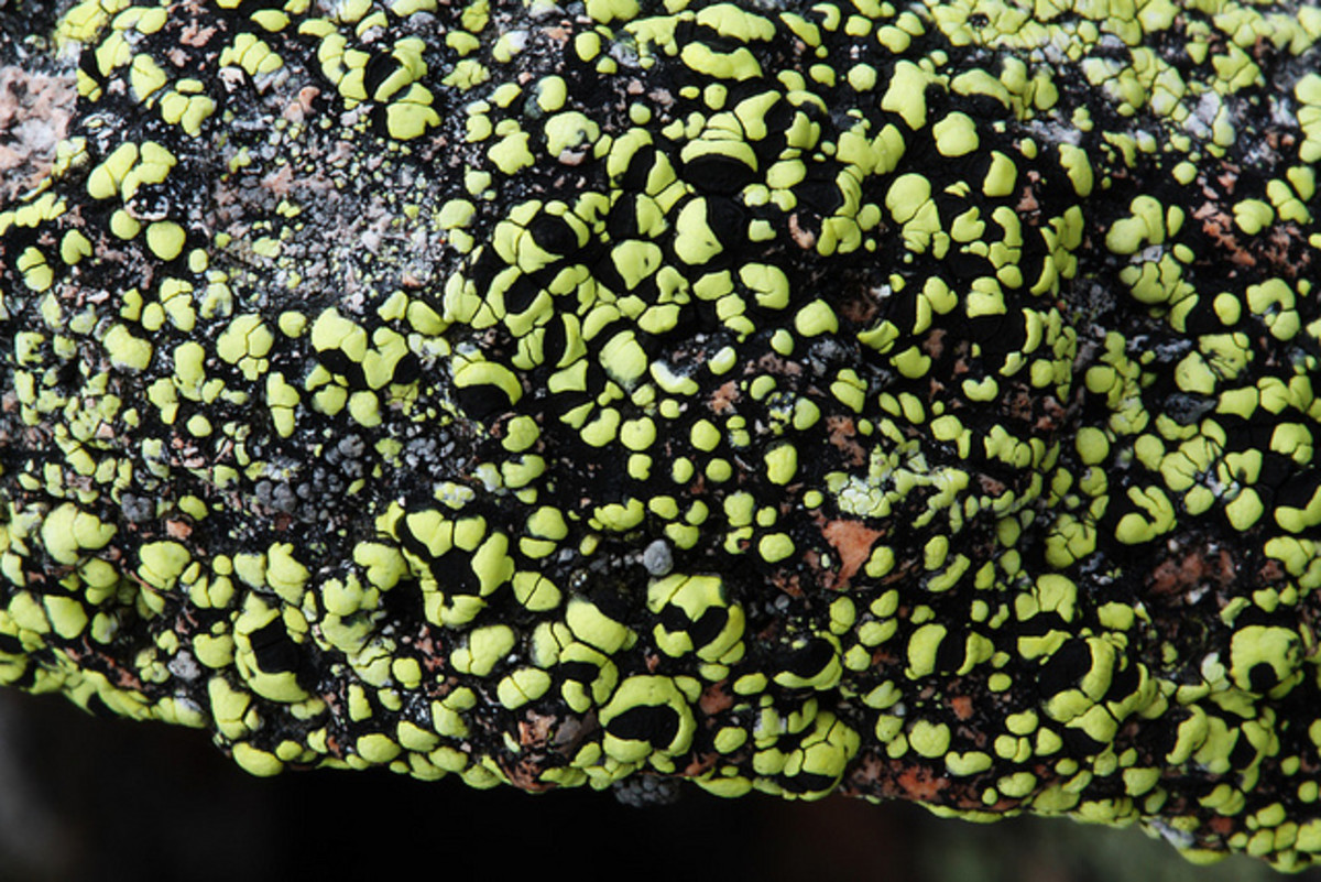 This looks almost alien! Rhizocarpon geographicum which is a fluorescent yellow lichen in bright light changing colour to greenish-yellow to Fluorescent green as the light fades.