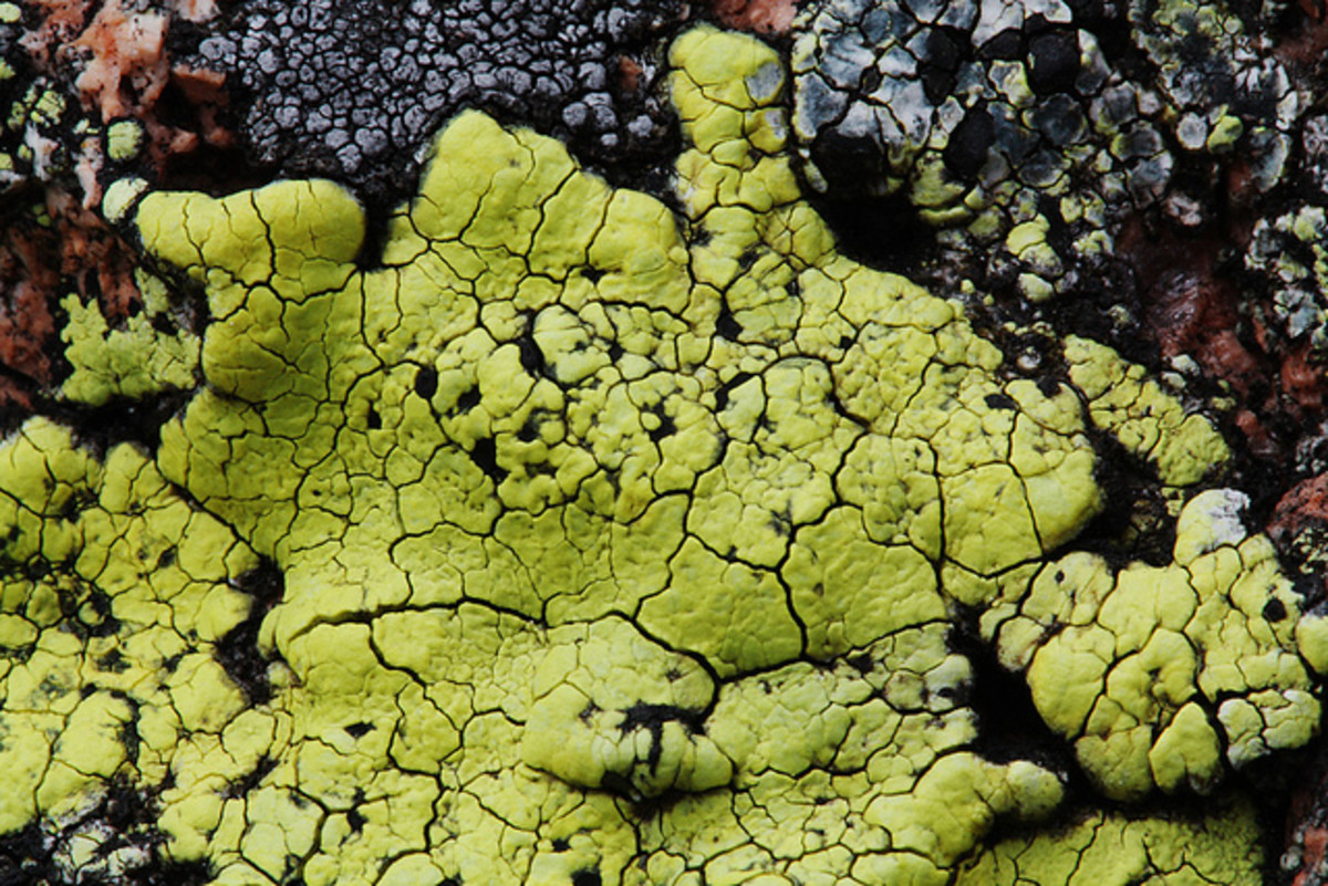 Rhizocarpon geographicum, a fluorescent yellow lichen in bright light changing to a greenish-yellow and to Fluorescent green as the light fades.