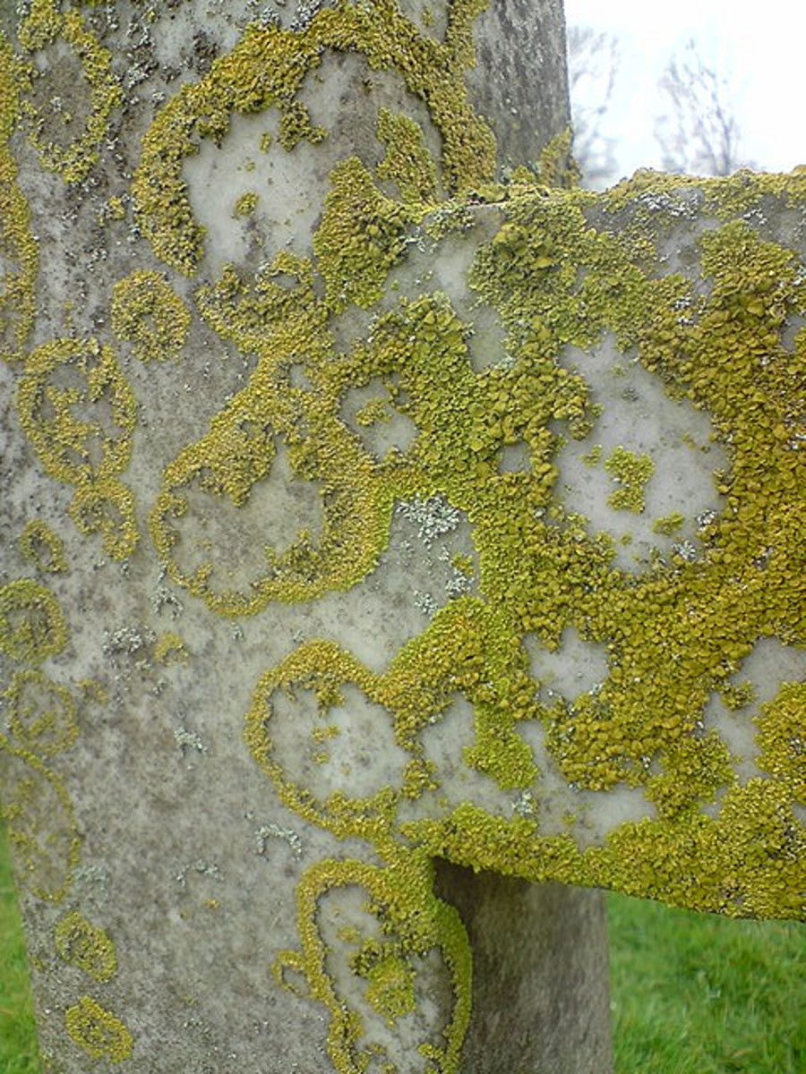 This lichen has a very interesting growth pattern.