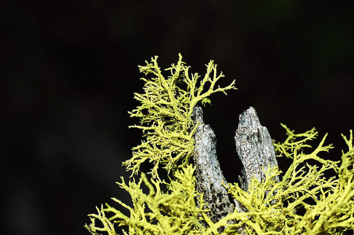 This lichen looks almost like the needles of a cedar tree.