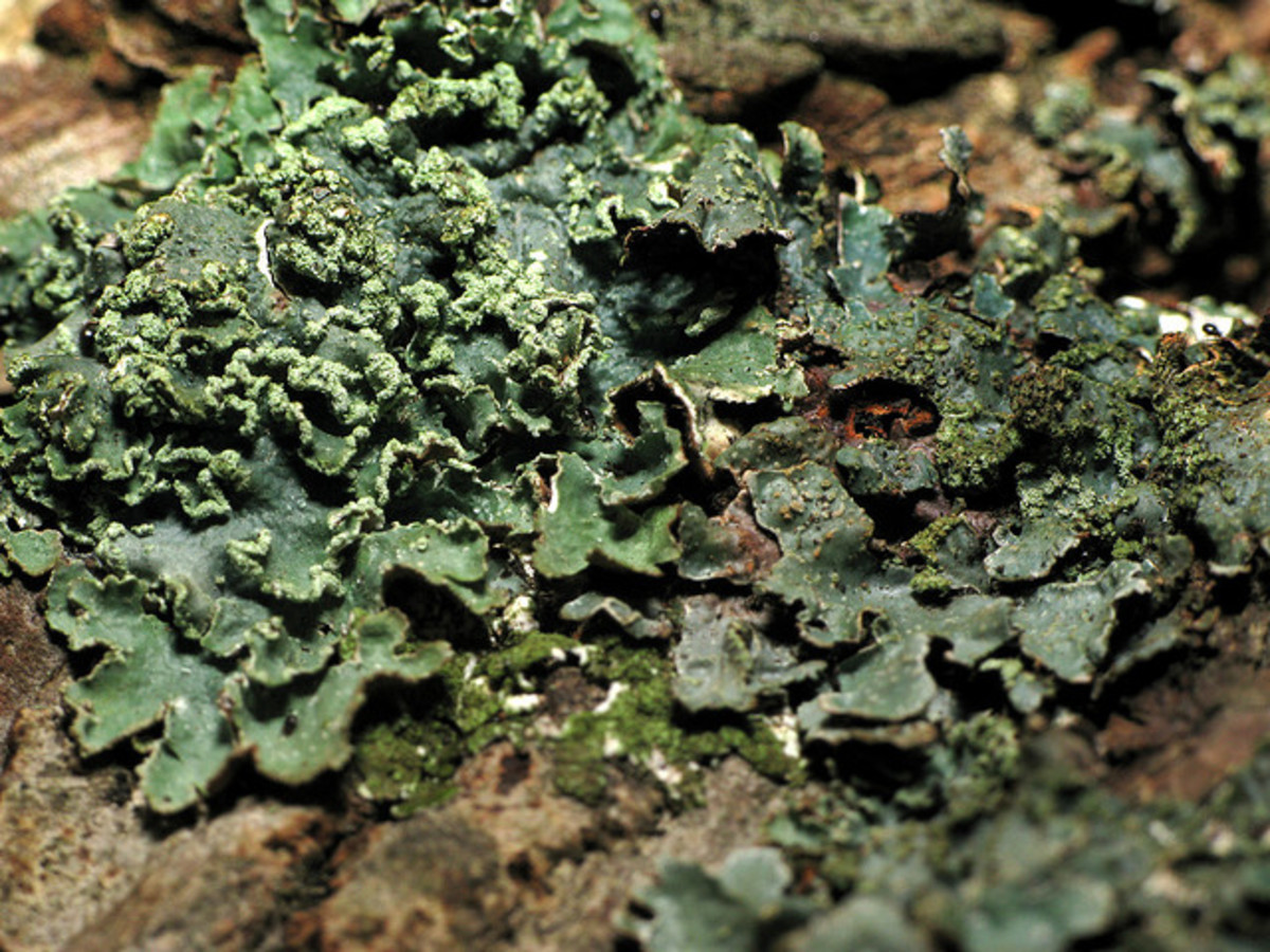 An unusual green lichen.