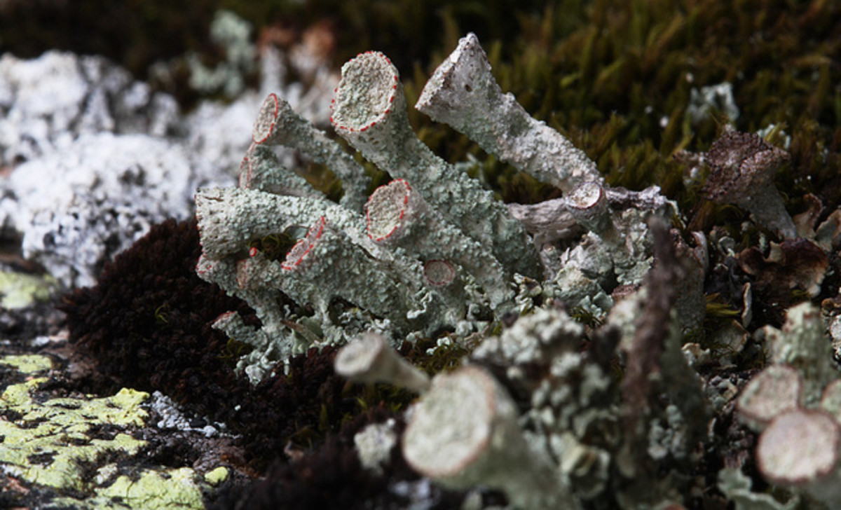 Cladonia coccifera - a lichen that is trumpet-shaped.