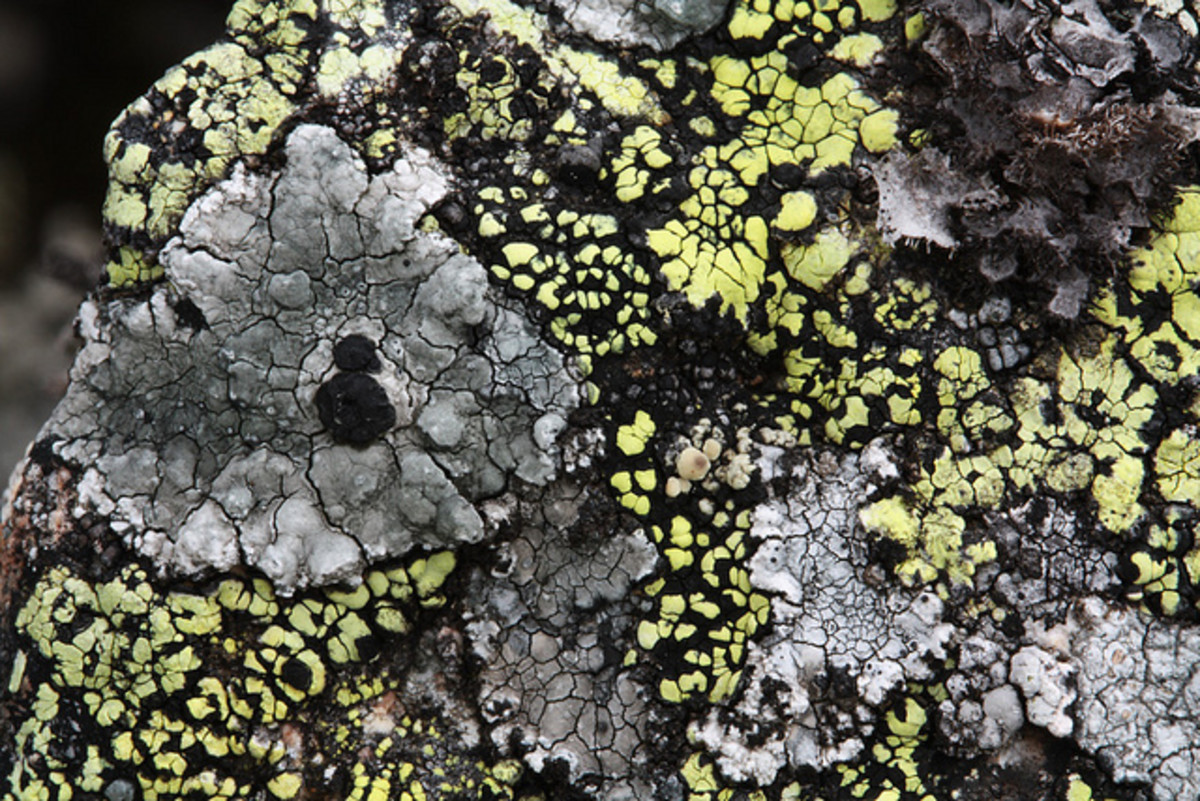 A gray lichen with black fruiting bodies,  Porpida cineroatra or Lecidella elaeochroma. Also predominant is Rhizocarpon geographicum, a fluorescent yellow to flourescent green lichen, depending on the light conditions.