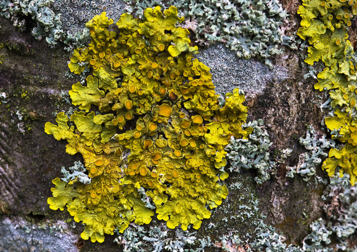 Lichen on a dry stone wall.