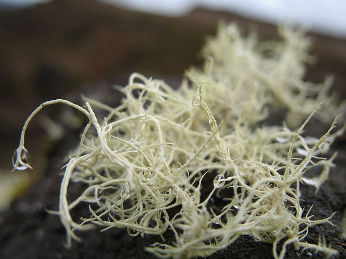 Notice the water drops hanging from this white lichen in New Zealand.