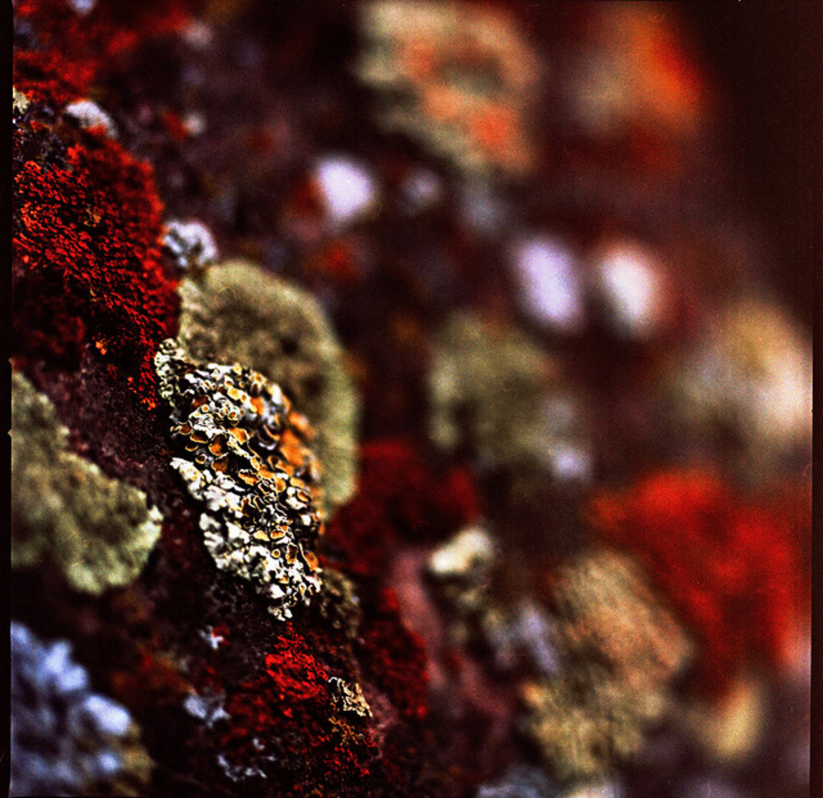 This lichen colony exhibits some truly striking colors.