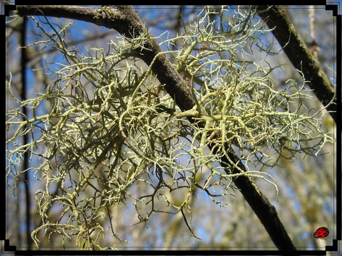Some forms of lichen can appear very fragile and delicate.