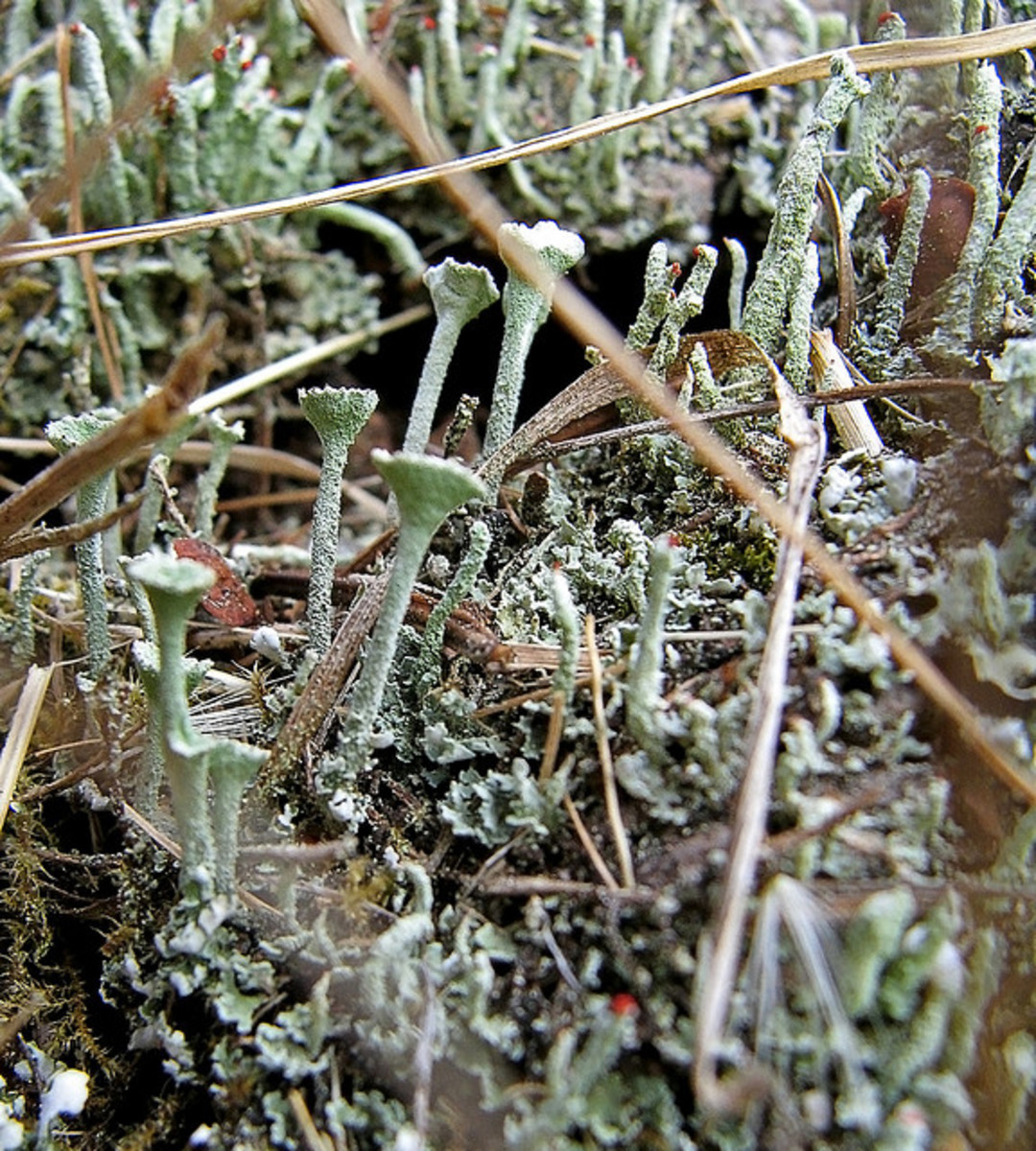 These lichen appear frosty although they are not. Notice all the different textures including the hairy stems.
