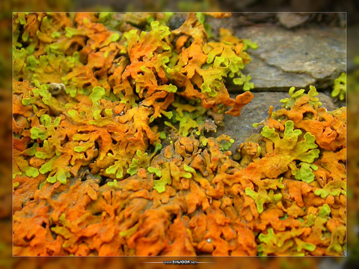 Layers of this colorful lichen would create a fabulous gown for the fairy queen.