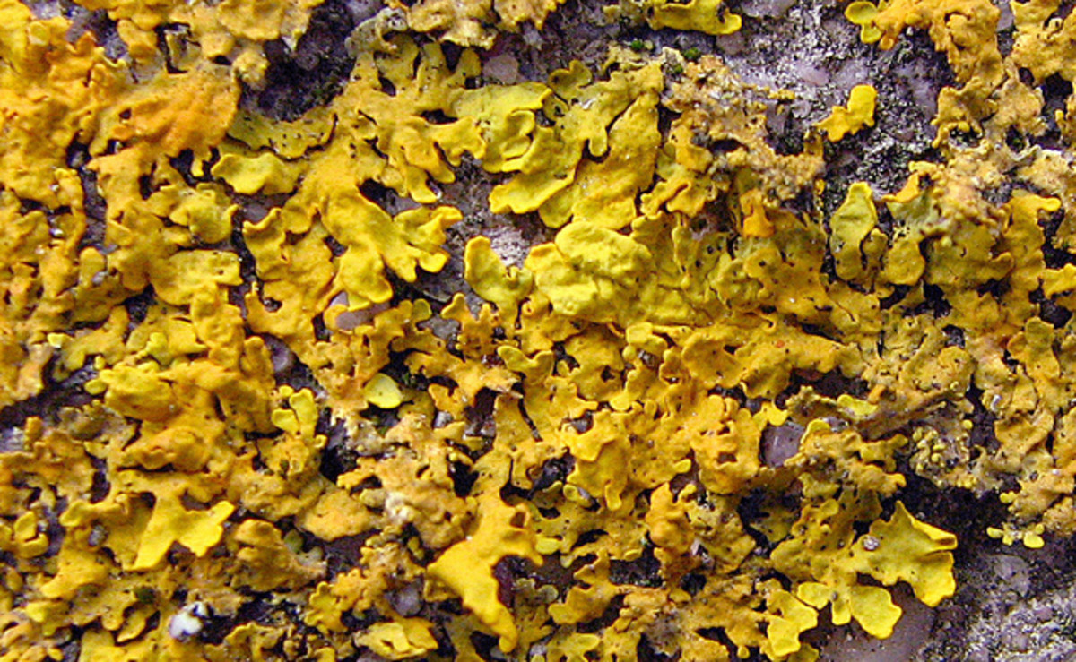 This lichen creates a magical world of golden beauty as the lichen reaches and ruffles out.