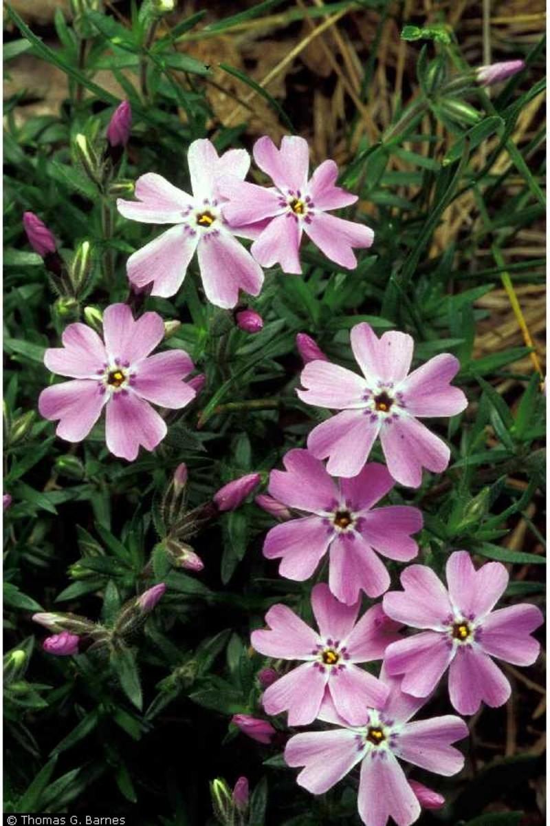 Phlox Subulata - Moss Phlox - Does this plant smell like cannabis?