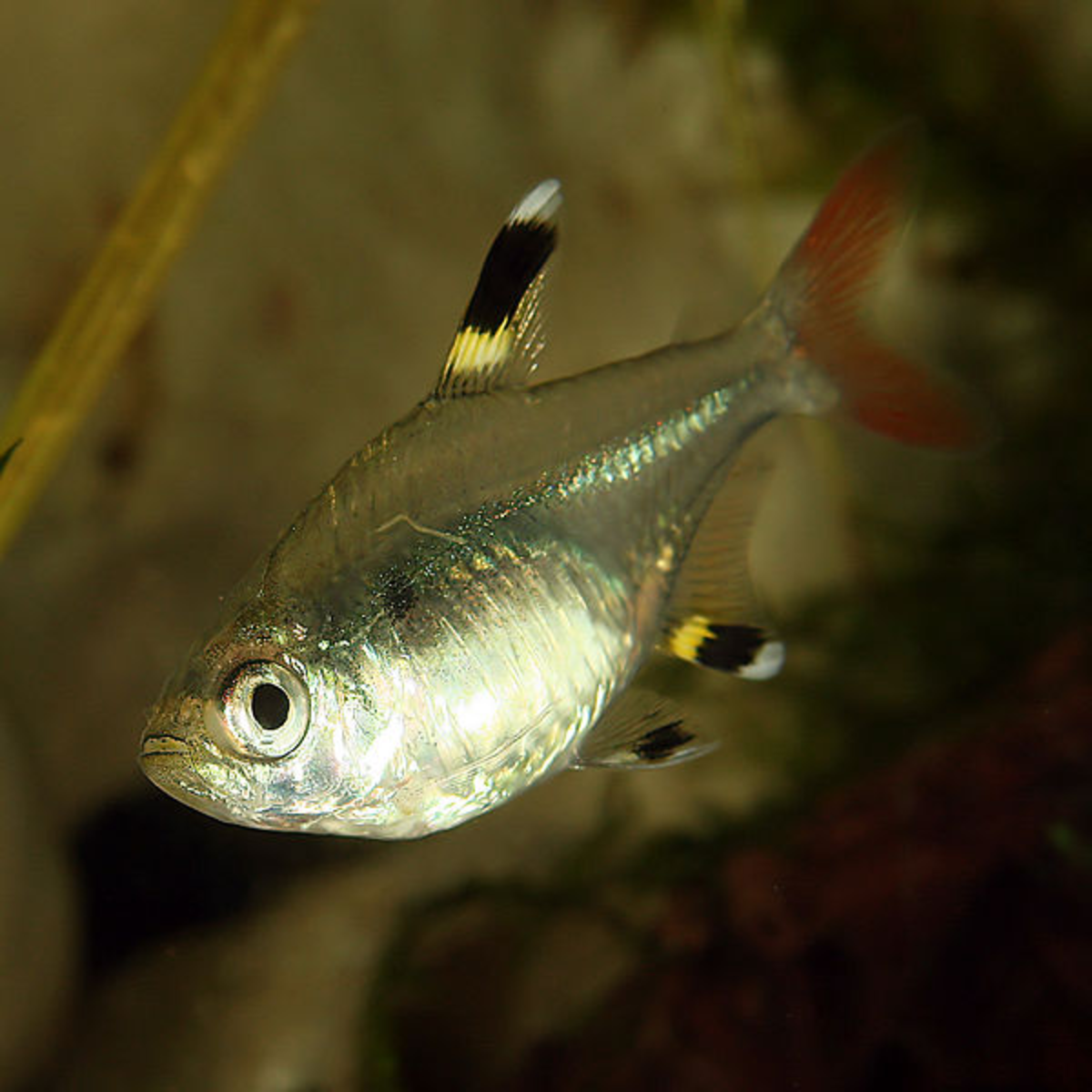 X-ray Tetra is a chordata.
