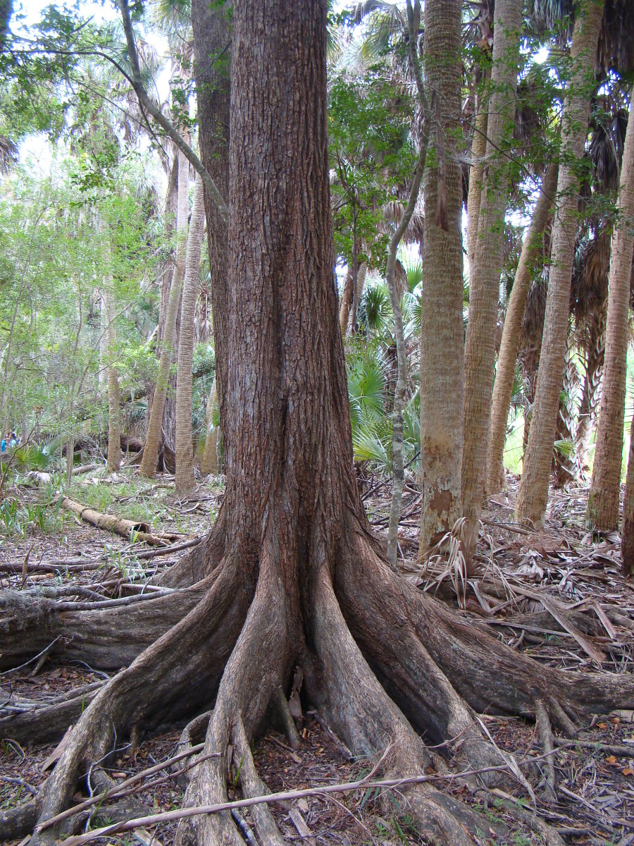 Trees and other plants are in the Plantae Kingdom.