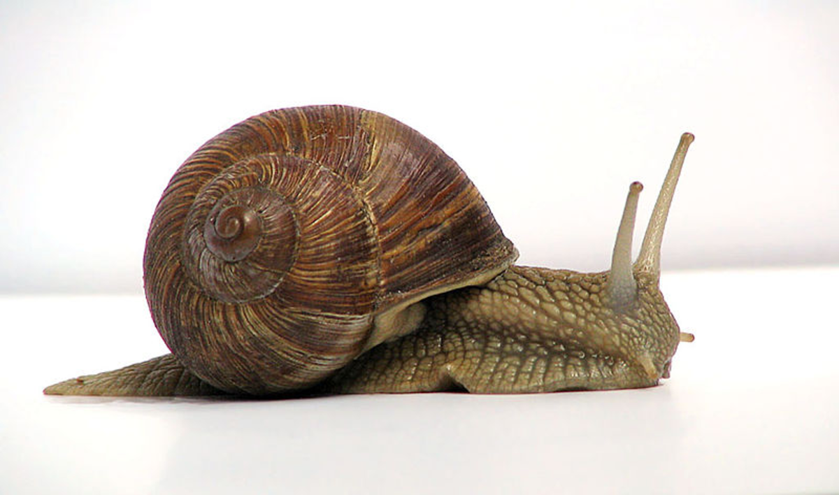 Land Snails are in the Mollusk Phylum.