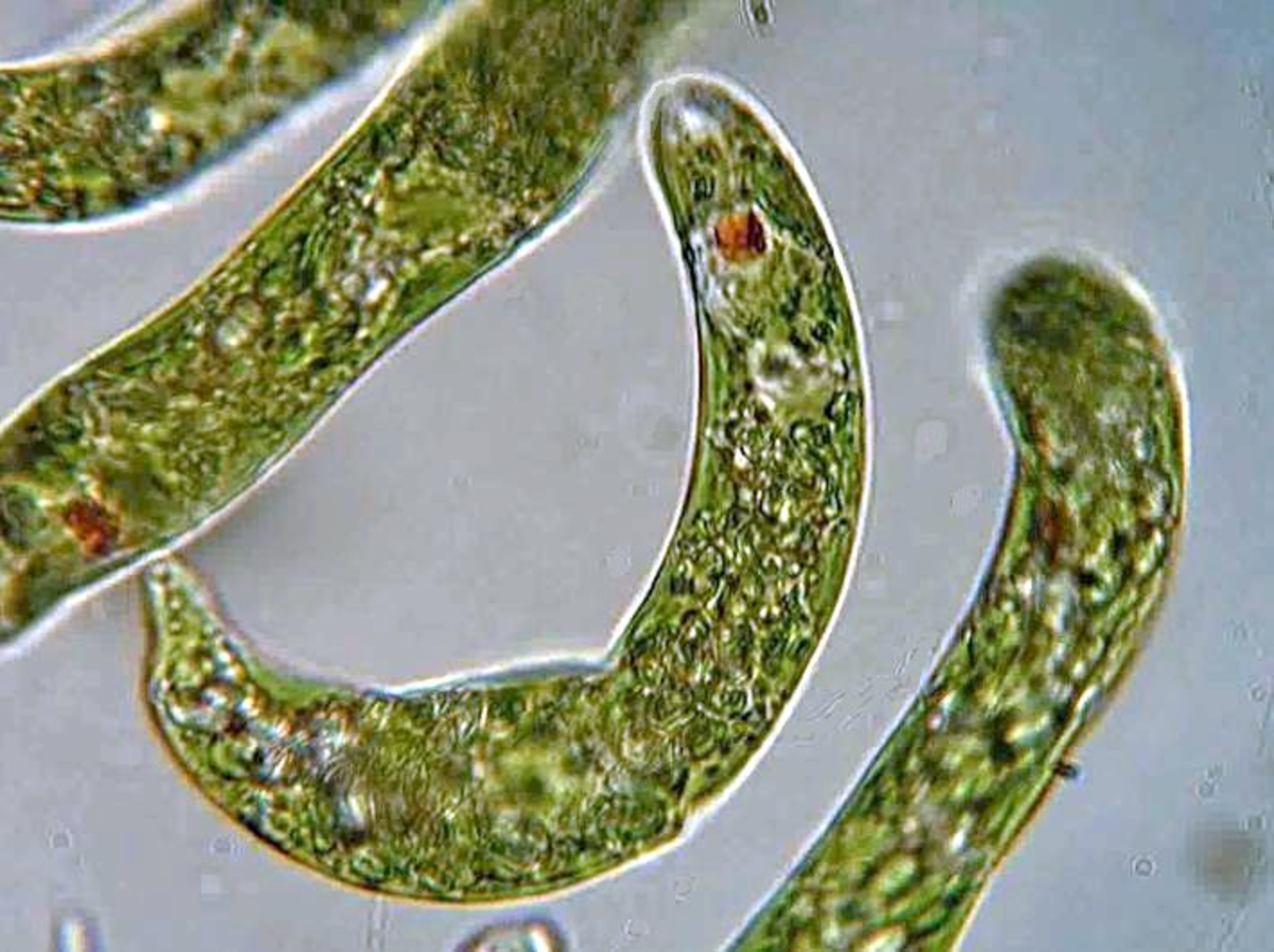 Euglena are in the kingdom Protista, in the domain Eukarya.