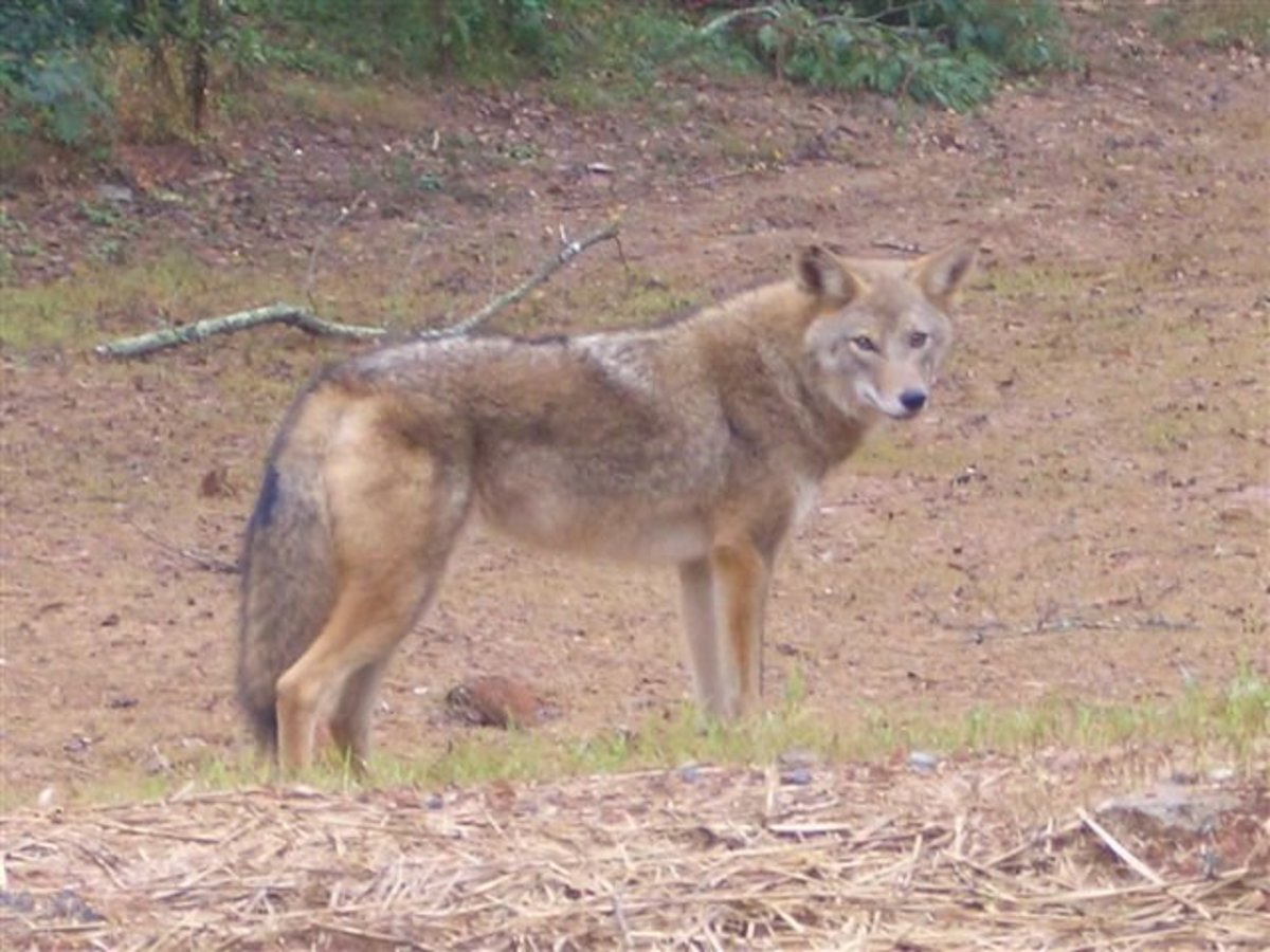 The Coyote, Coydogs, Coywolves, and Coyotes in Urban Environments.
