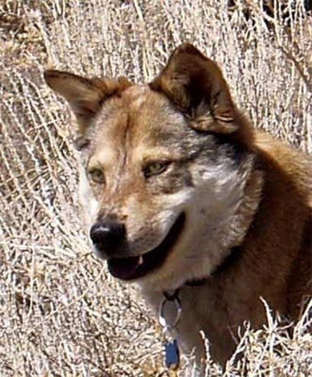 Coyote and Australian Shepherd Mix