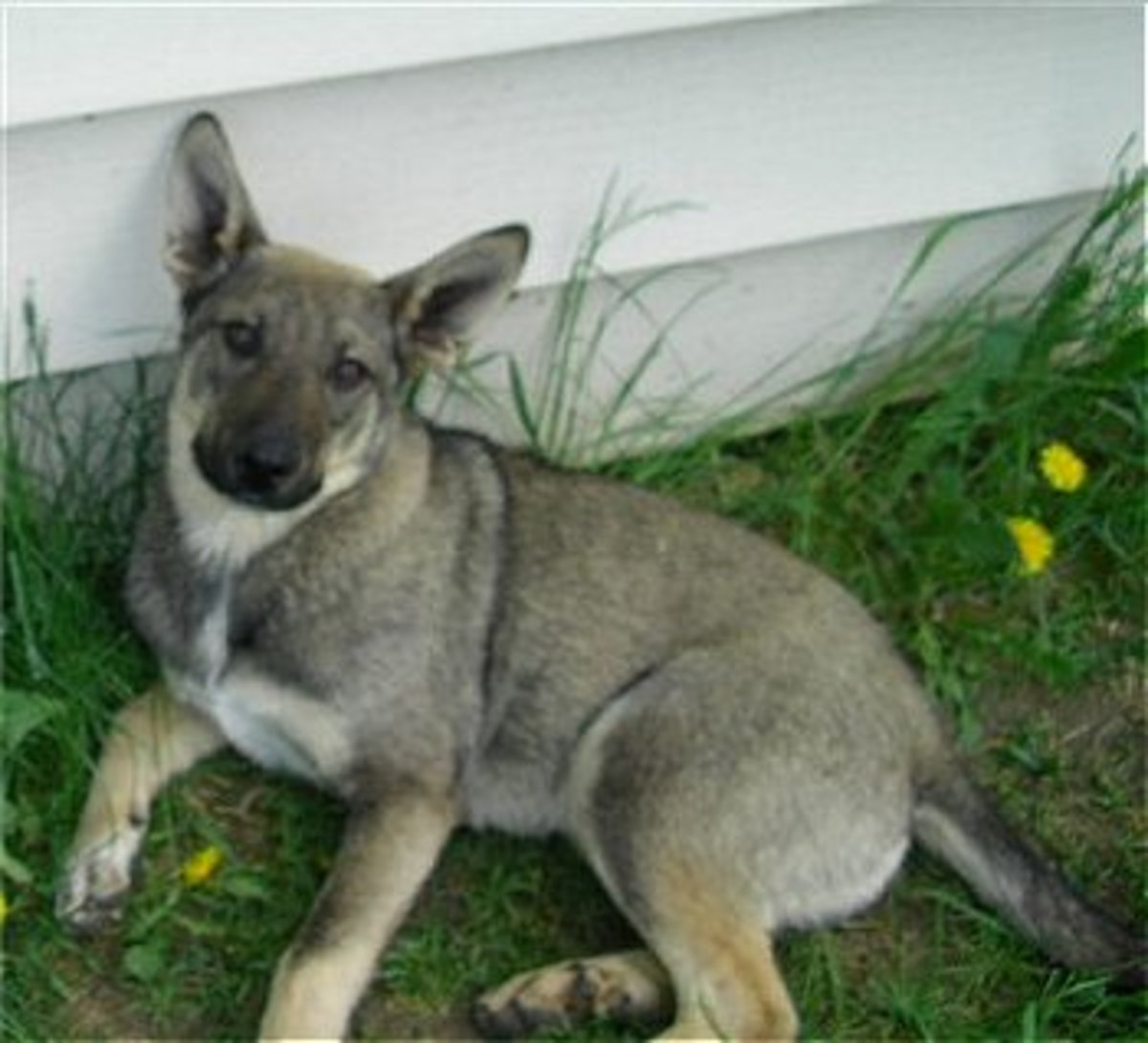 Coyote and Blue Heeler Mix