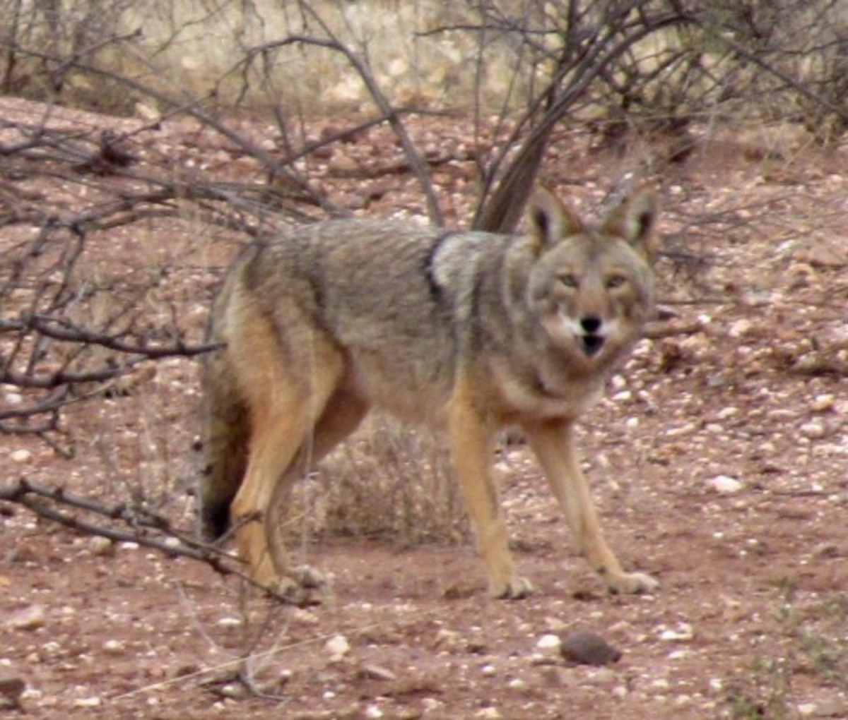 http://ghost32.hubpages.com/hub/The-Cool-Coyotes-of-Cochise-County-2