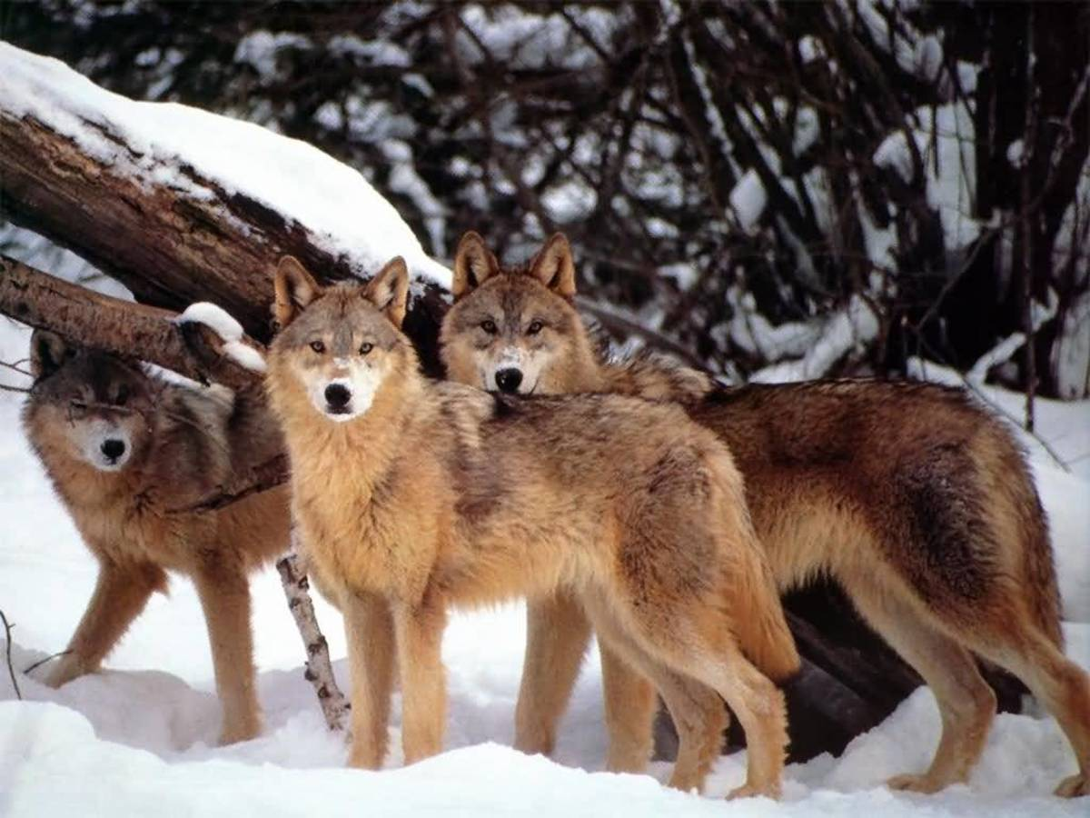 the-coyote-the-little-wolf-of-the-americas