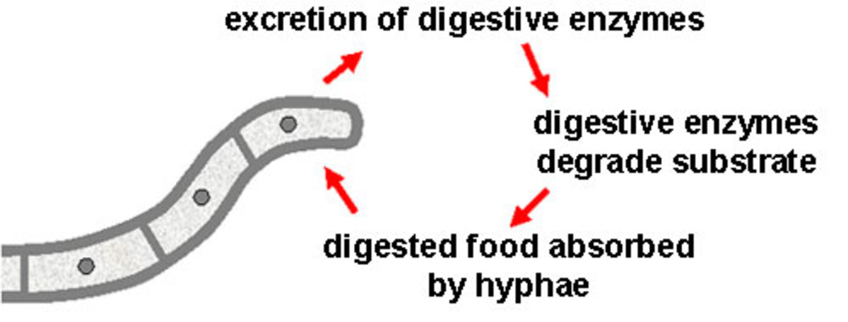 Fungi use extracellular digestion. Vesicles at the tip of the fungal hyphae release digestive enzymes onto the food source. The soup of nutrients is absorbed through the cell wall of the fungus