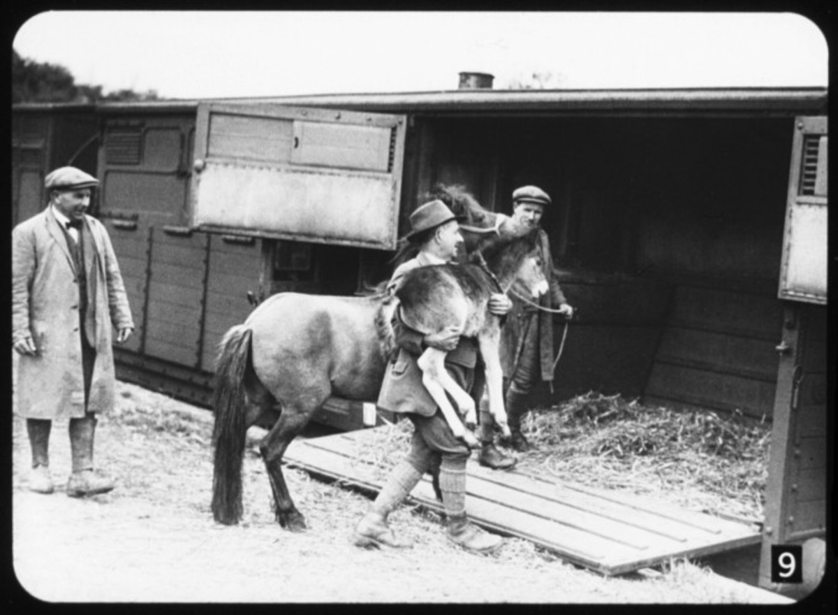 Mare and foal being loaded into a horse box. This is a farmer 'moving house'. Most often horse boxes were used to convey racehorses - we have upward of two dozen race courses in mainland Britain for flat and national hunt (over the 'sticks') events