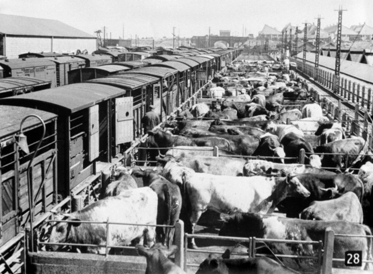 Cattle pens and wagons awaiting stock or just been unloaded for market, whether to be auctioned off for fatstock (meat) or dairy stock depended on the time of year or month-