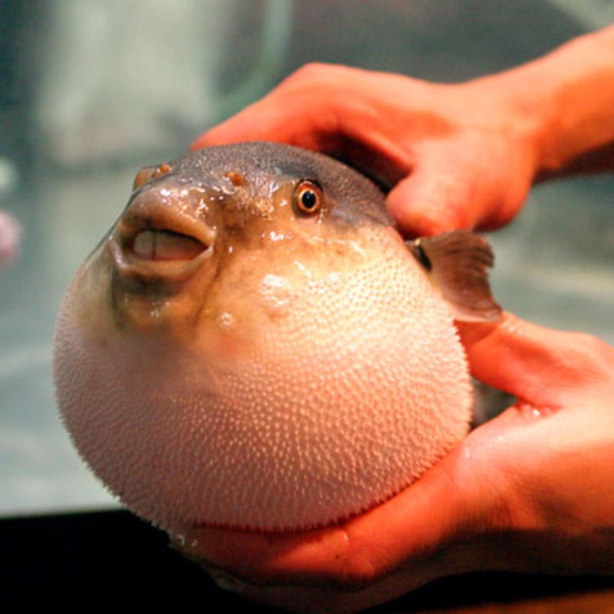 Fugu Puffer Fish