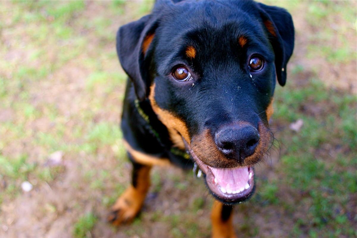 Rottweiler's Smile
