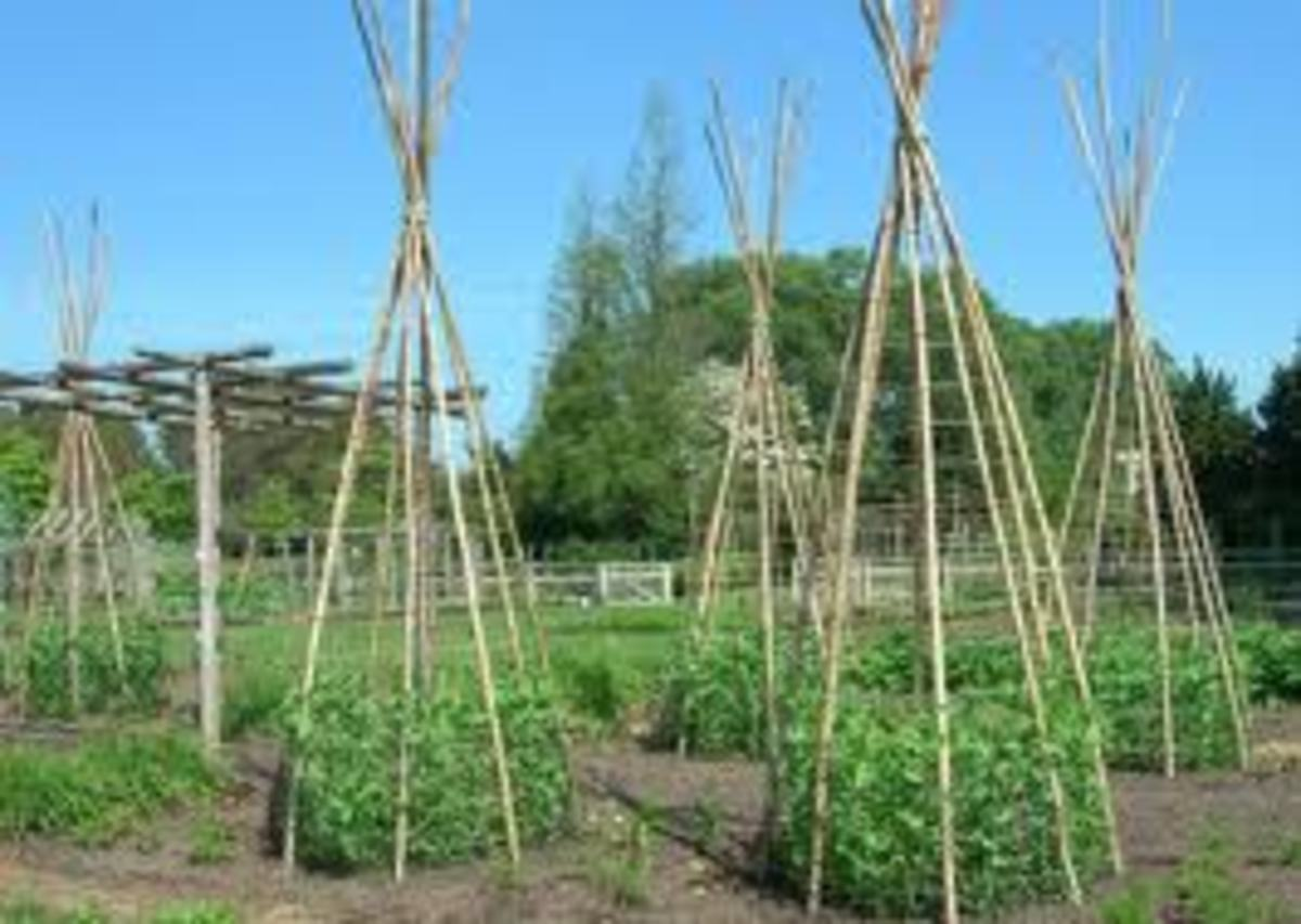 Snap Pea Trellis Ideal. Here poles have been made into teepees that the peas grow up and cover.