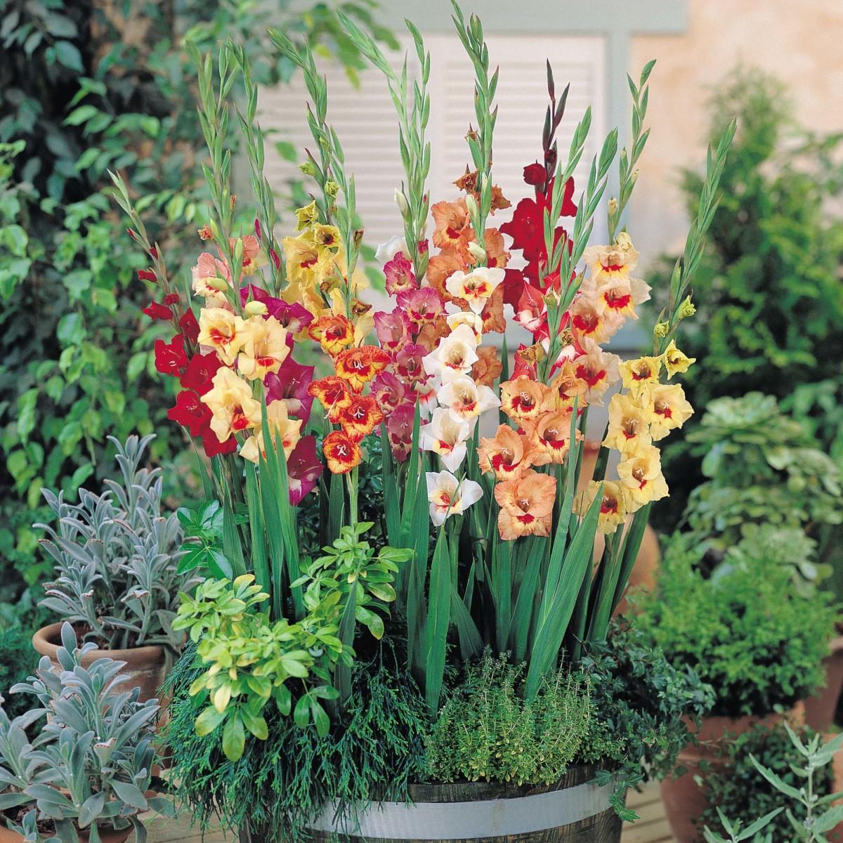 gladiolusgrowplantcaremeaning