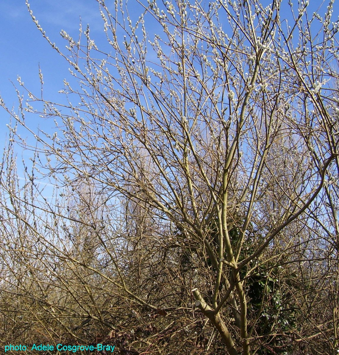 Catkins in the spring sunshine