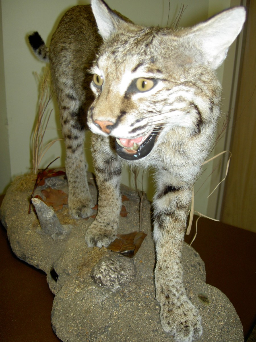 Taxidermy: wild cat