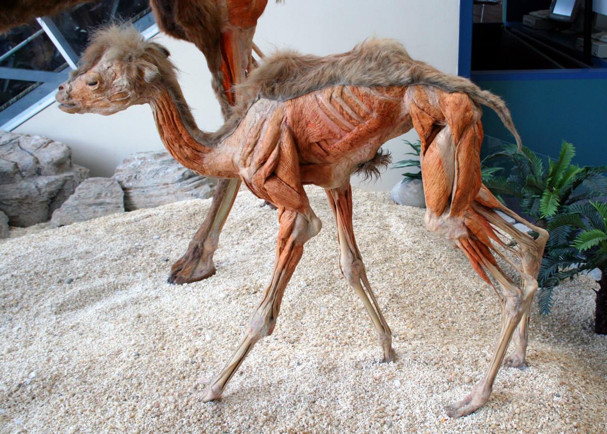 Camel plastination