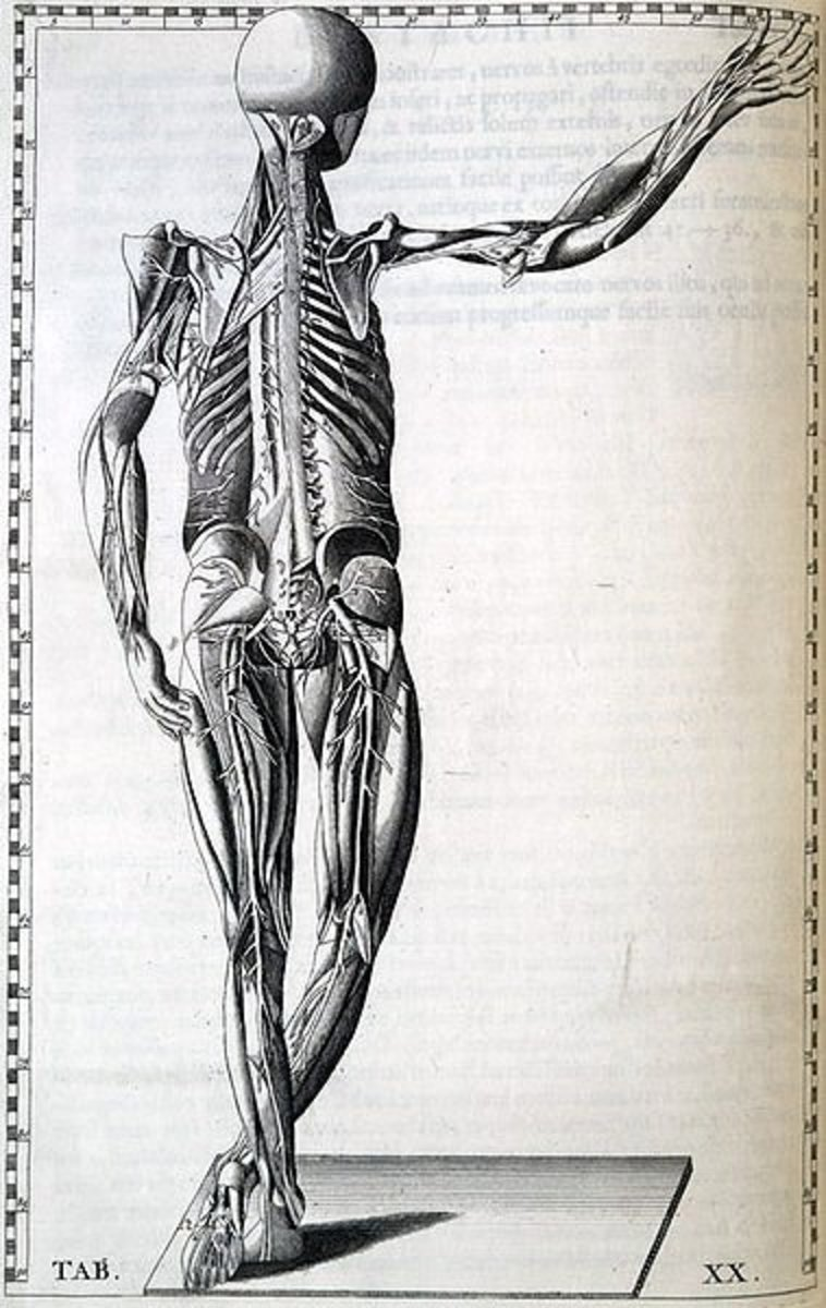 Artificial sweetners may affect the body in unwanted ways.[Human body by Bartolomeo Eustachi (1520?-1574)]