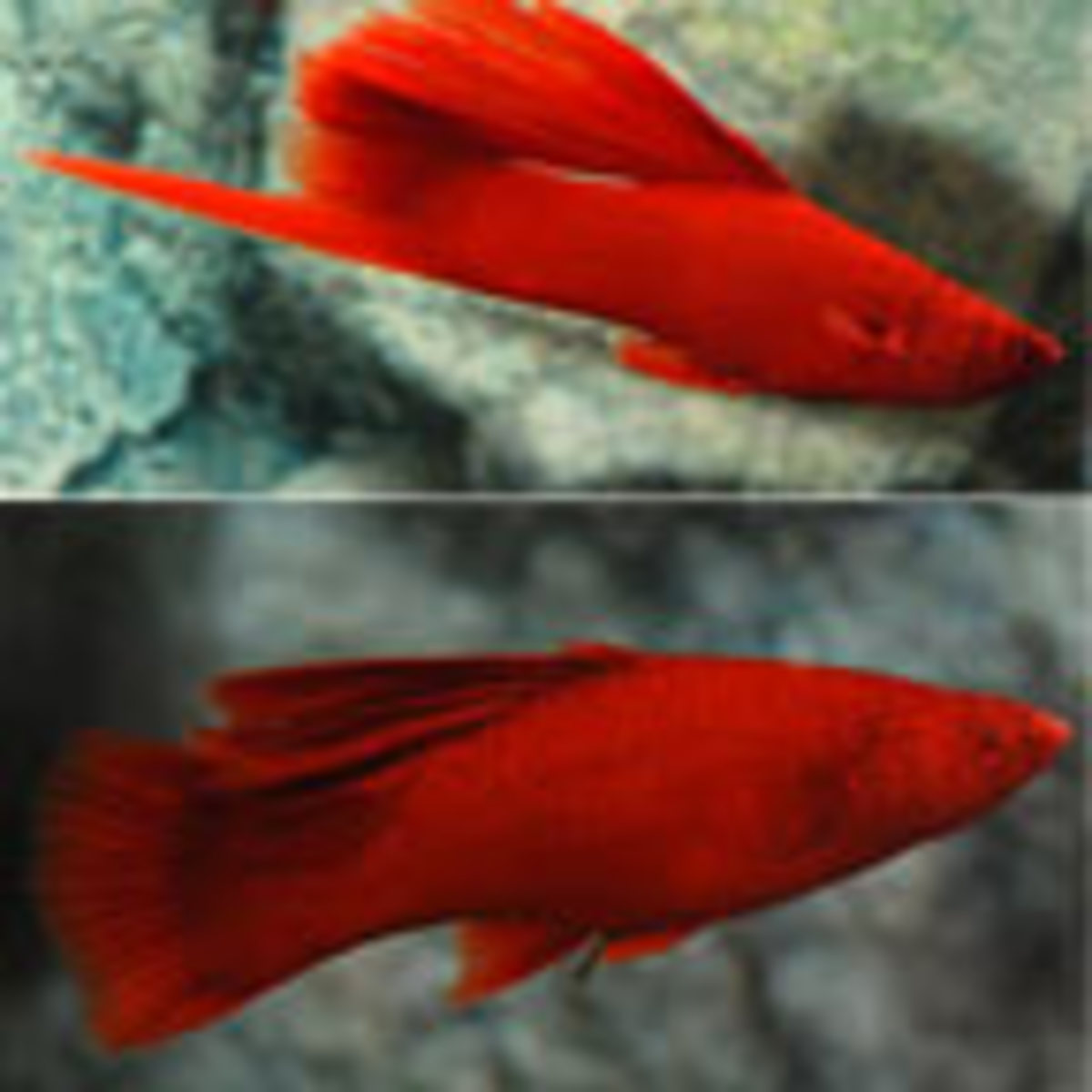 Red swordtails, like this hybrid species, shown in the photo, can brighten up any freshwater aquarium. It is a good fish type to introduce along with their close cousin the platy, as well as adding a few black mollies.