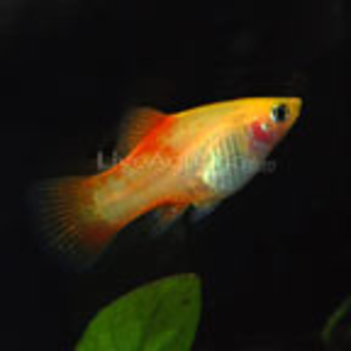 The pineapple platy, looks similar to it's close cousin, the sunset platy. However it has more of a pineapple color to it, rather then a deep yellow. Platys make good first additions to any aquarium.