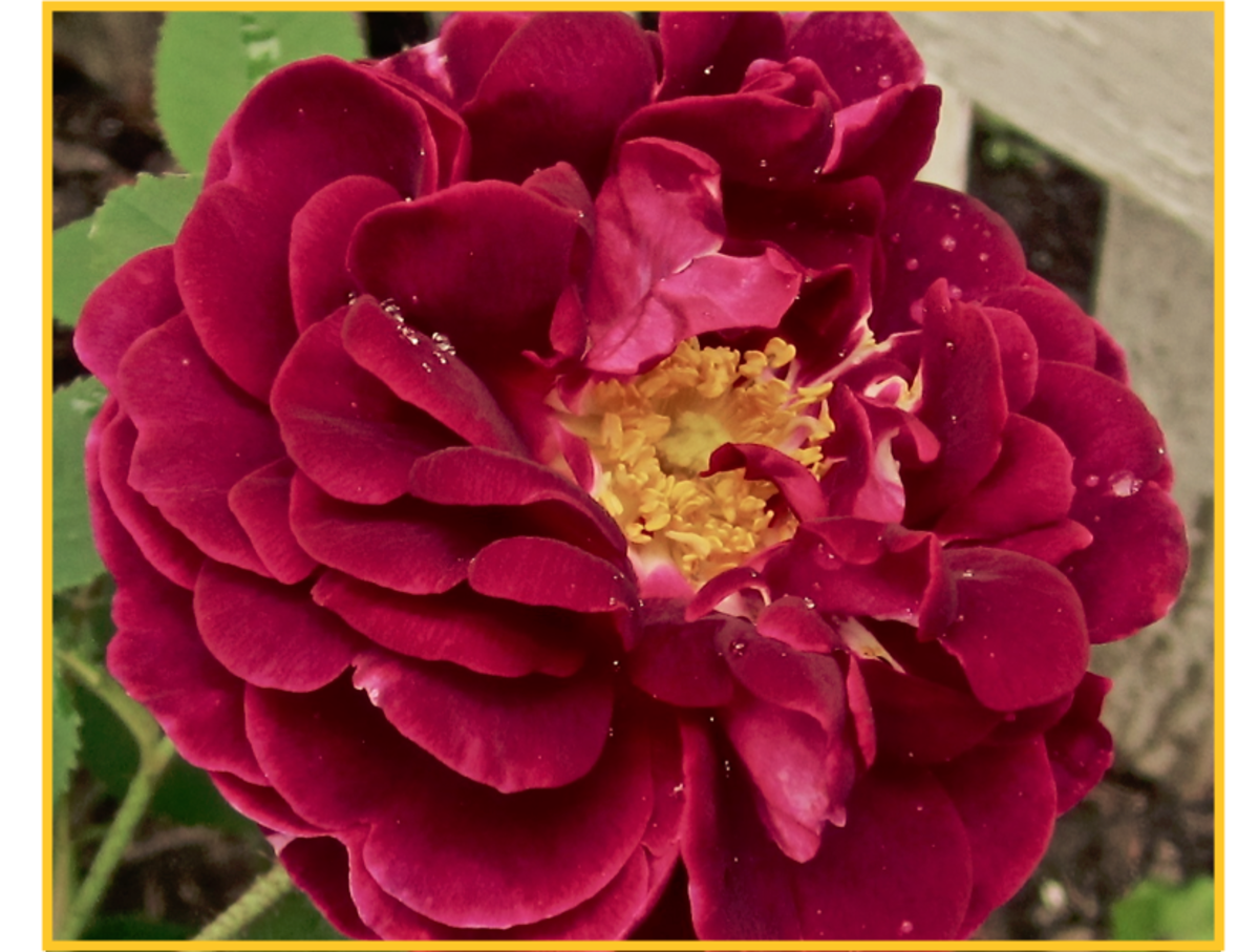 My Victorian Garden in Summer: Growing Heirloom and Old-Fashioned Roses