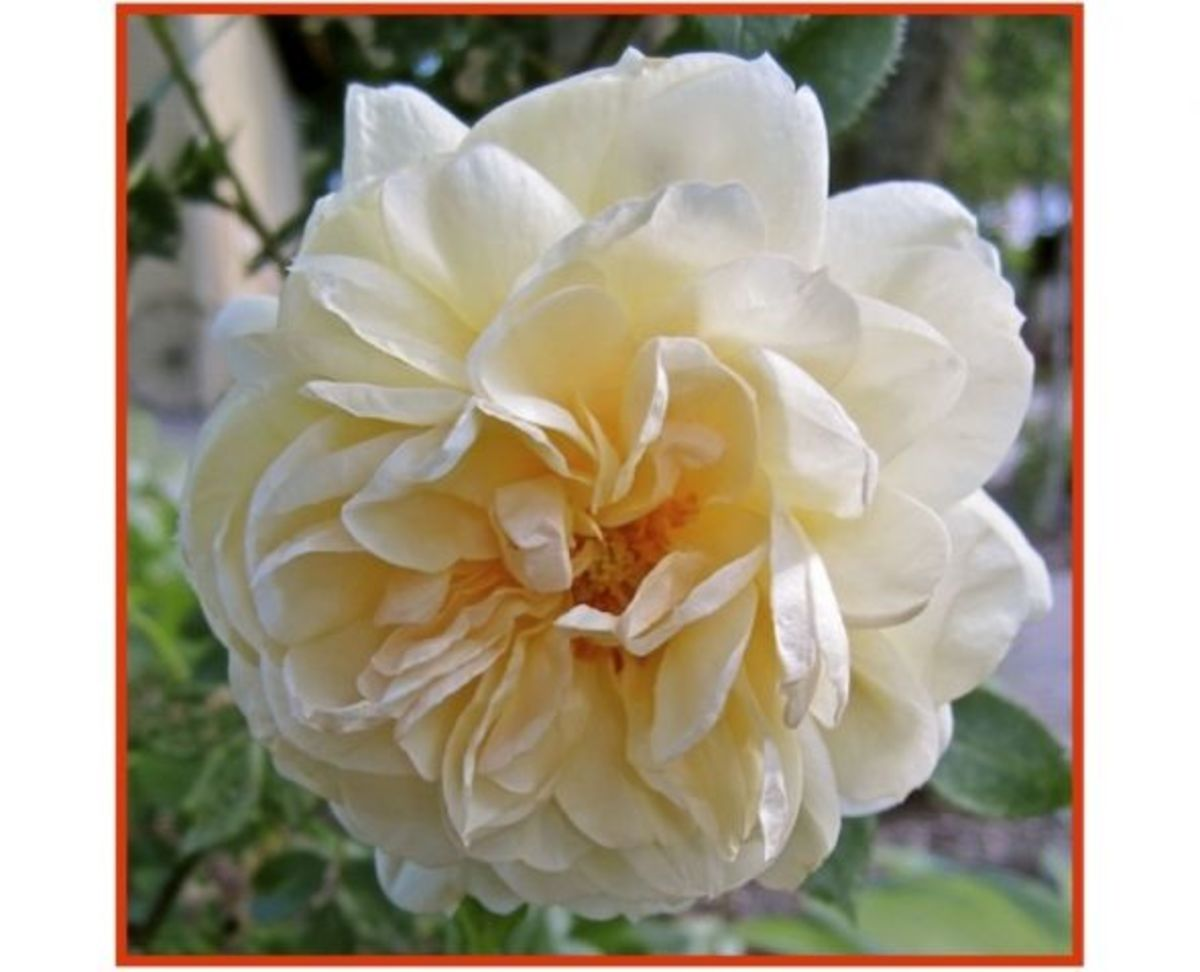 my-victorian-garden-growing-heirloom-and-old-fashion-roses