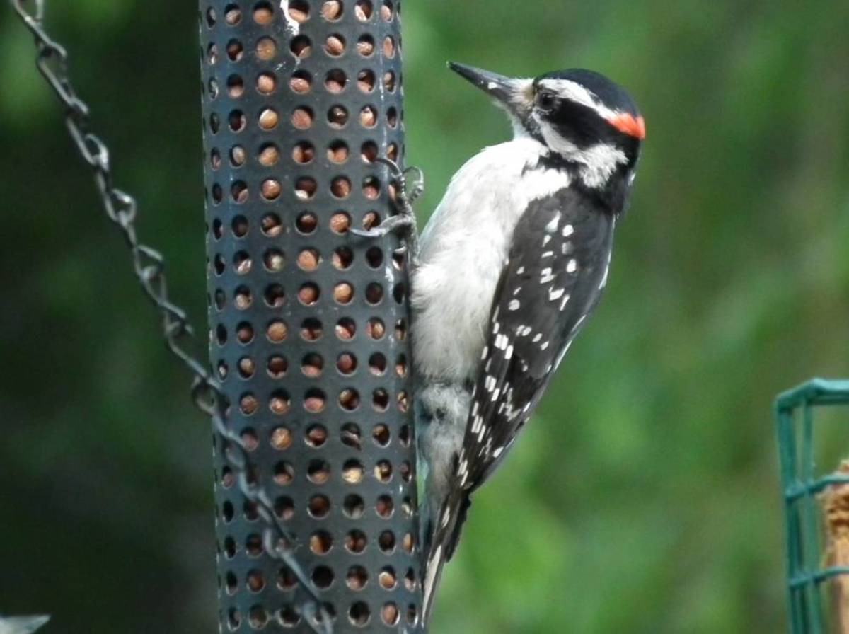 Woodpecker Enjoying a Peanut Feeder