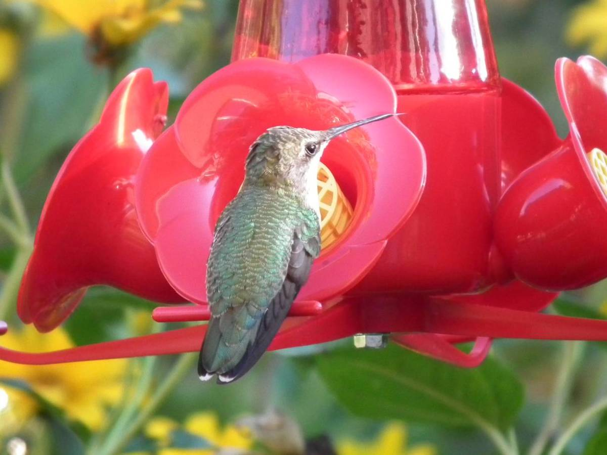 Hummingbird at Nectar Feeder