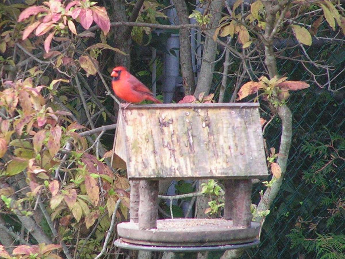 The Male Cardinal Brings Color To The Garden In The Winter