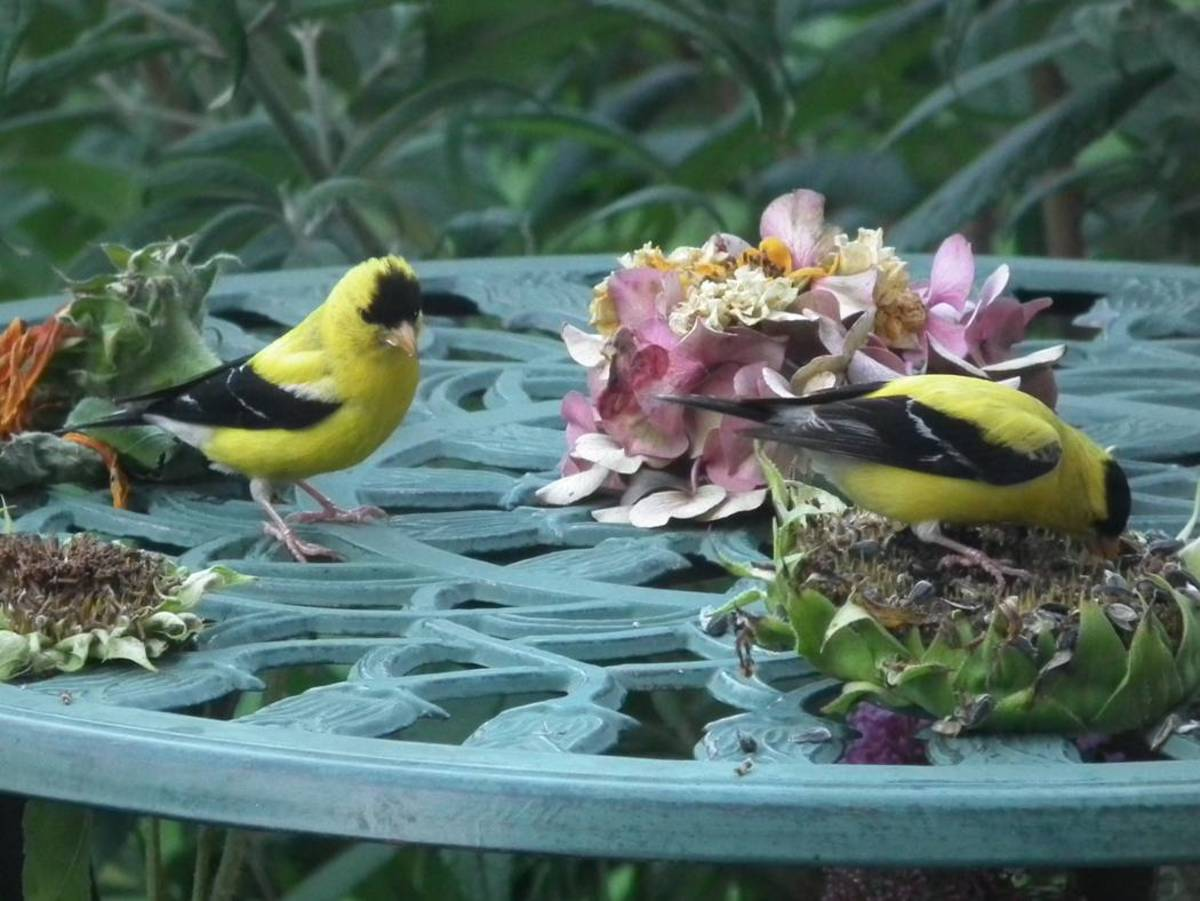American Goldfinches Enjoying Sunflower Heads