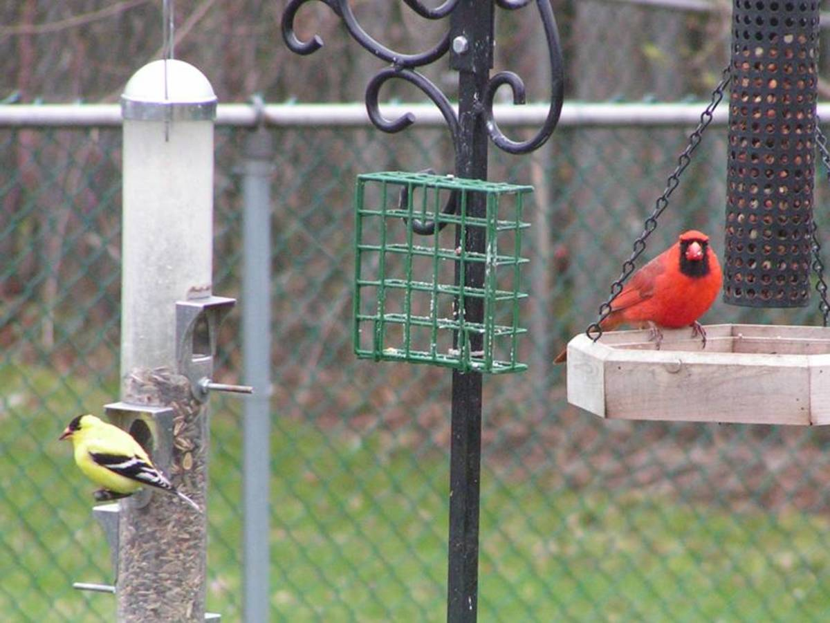 Male Northern Cardinal and American Goldfinch Share the Feeders