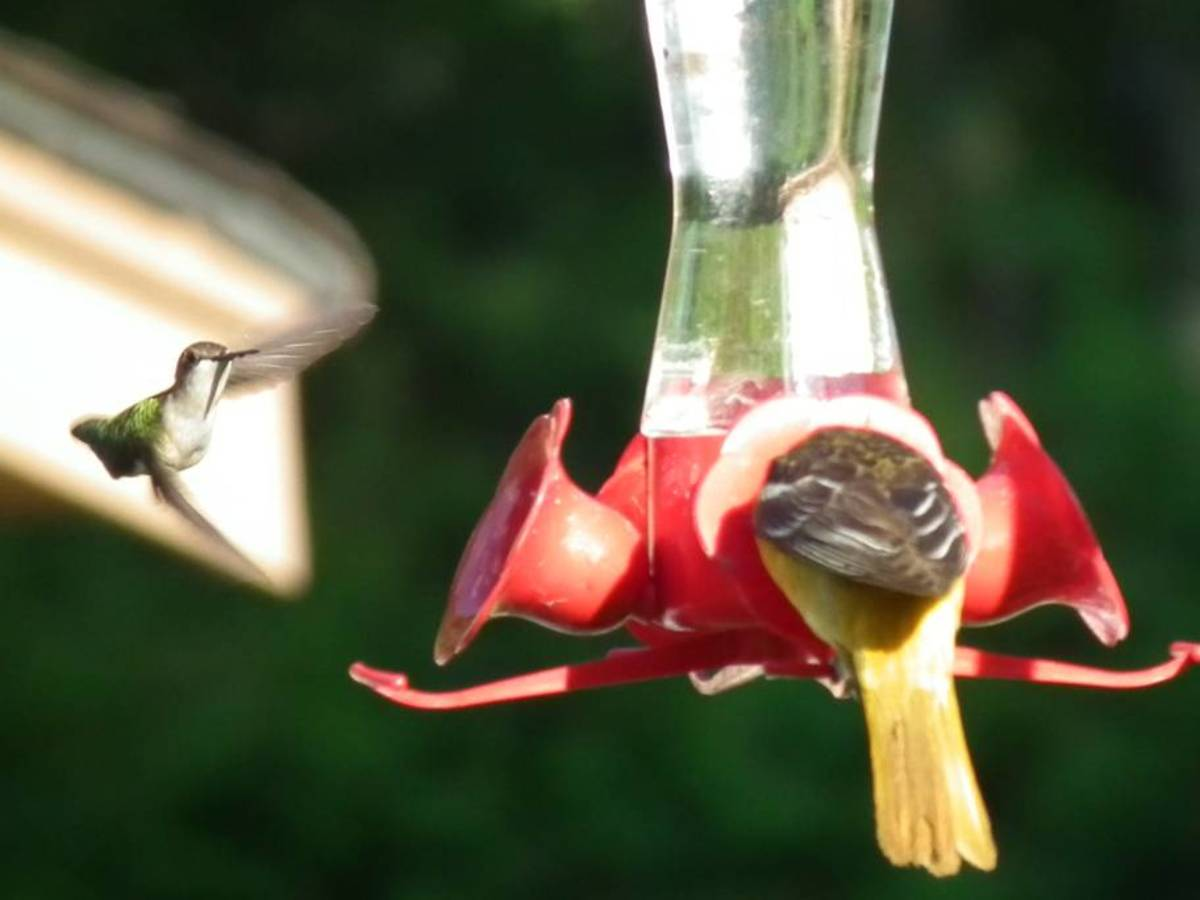Ruby-throated Hummingbird and Oriole at Hummingbird Feeder