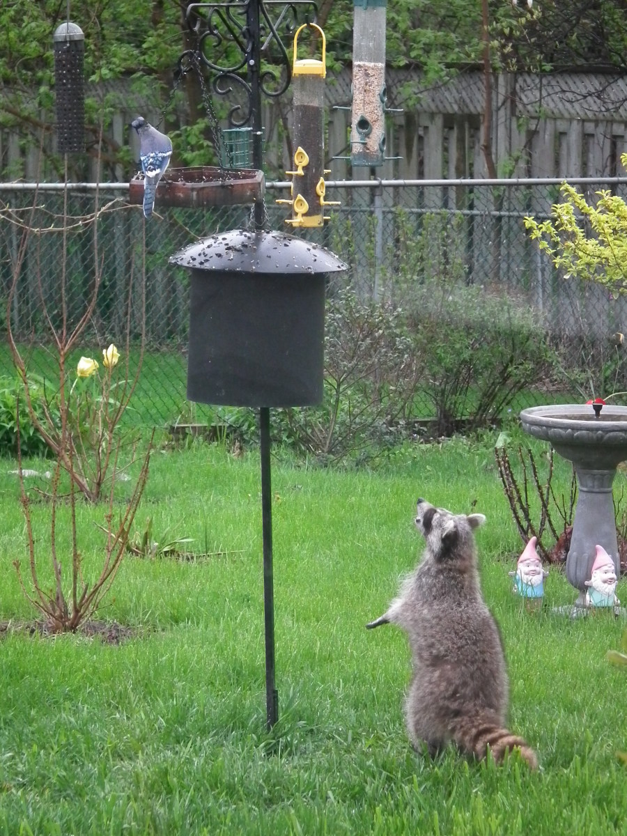 Raccoons Are Attracted By The Bird Food